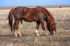 Stallion in prairie Royalty Free Stock Photos