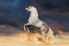 Stallion rearing up Royalty Free Stock Photo