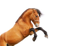 Stallion rears. Beautiful bay stallion rears isolated on white Stock Images
