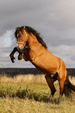 Stallion rears. Beautiful stallion rears on stormy skies Stock Image