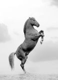 Stallion rears Royalty Free Stock Image