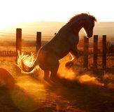 Stallion Rears Up at Sunset Tail Lit Up Royalty Free Stock Photo