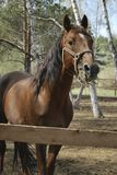 Stallion in roundup Royalty Free Stock Images