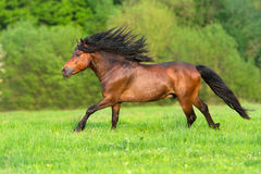 Stallion run free. Bay stallion with long mane run in spring field Royalty Free Stock Photography