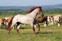 Stallion running Stock Photography