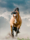 Stallion running. Bay mustang stallion running in dust Royalty Free Stock Image