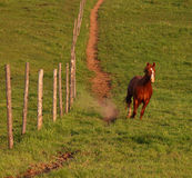 Stallion Runs Downhill. Away from the muddied path Royalty Free Stock Images
