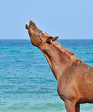 Stallion sniffs the air on the beach with his head up Royalty Free Stock Photography