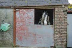Stallion in stable. Royalty Free Stock Images