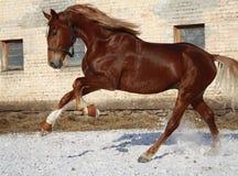 Stallion sulla camminata Immagini Stock