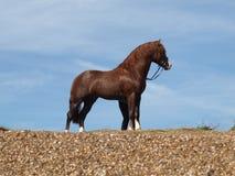 Stallion sulla spiaggia Immagine Stock
