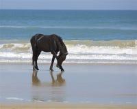 Stallion at Surf& x27;s Edge Stock Photos