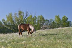 Stallion to pasture Stock Images