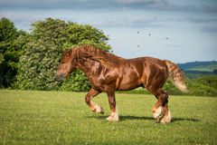 Stallion at trot. Suffolk Punch stallion trotting in english landscape Royalty Free Stock Photography