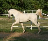 Stallion trottare Fotografia Stock Libera da Diritti
