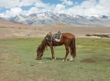 Stallion under saddle Royalty Free Stock Images