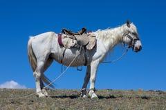 Stallion under saddle Stock Photos