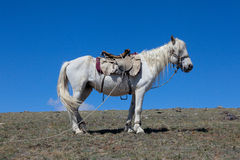 Stallion under saddle Royalty Free Stock Photo