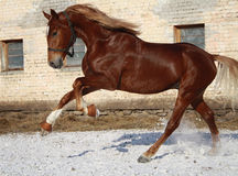 Stallion on walk Stock Images