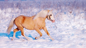 Stallion on walk. Royalty Free Stock Photos