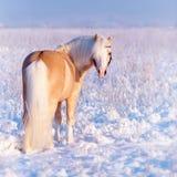 Stallion on walk. Royalty Free Stock Photos