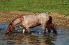 Stallion at watering hole drinking water. Beautiful stallion at watering hole drinking water Stock Image