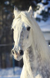 Stallion in winter Stock Images