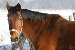 Stallion in winter Stock Photos
