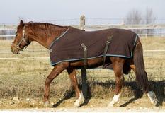 Stallion on winter blanket on horse farm on sunny winter day Royalty Free Stock Image