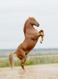 Stallion zieht Vektor auf Lizenzfreie Stockfotos