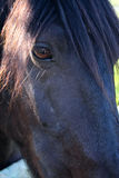 Stallion0 nero Immagine Stock
