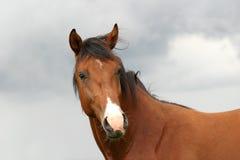 Stallionportrait Lizenzfreie Stockbilder