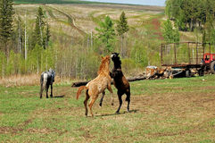 Stallions Fotografie Stock Libere da Diritti