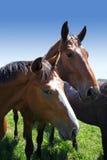 Stallions. Two westfalen stallions 3 year old Stock Image