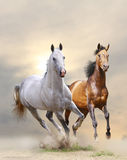 Stallions. Purebred stallions white and bay running in sand Royalty Free Stock Photography