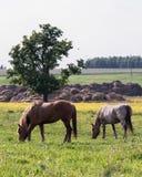 stallions stock foto