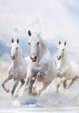 Stallions bianchi in neve Fotografia Stock Libera da Diritti