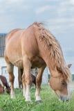 Stallions Stock Photos