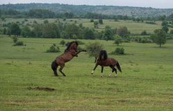 Stallions in fight Royalty Free Stock Images