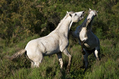 Stallions fighting Royalty Free Stock Photo