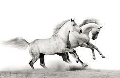 Stallions running. Over a white Stock Photo