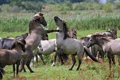 Stallions selvaggi combattenti Fotografie Stock Libere da Diritti