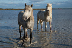 Stallions. Two stallions standing in the marsh of the camargue in southern france at sunrise royalty free stock photos