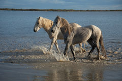 Stallions. Two stallions walking through the marsh of the camargue in southern france at sunrise royalty free stock image