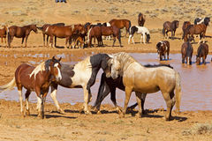 Stallions by the Watering Hole Stock Image