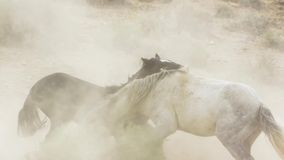 Stallions, wild mustangs try to dominate the pools, fighting of rivals who venture too close in the desert of Nevada, United royalty free stock photography