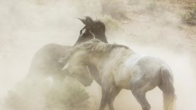 Stallions, wild mustangs try to dominate the pools, fighting of rivals who venture too close in the desert of Nevada, United royalty free stock images