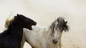 Stallions, wild mustangs try to dominate the pools, fighting of rivals who venture too close in the desert of Nevada, United. States. Wildlife concept royalty free stock photo