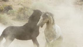 Free Stallions, Wild Mustangs Try To Dominate The Pools, Fighting Of Rivals Who Venture Too Close In The Desert Of Nevada, United Stock Photos - 136136873