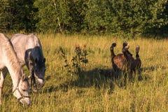 Stallon de cheval de châtaigne s'étendant sur le sien de retour dans un pré Images libres de droits